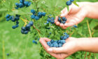 Blueberries are packed with delicious flavour