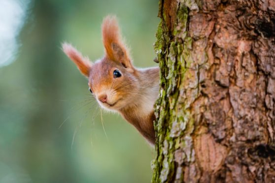 A red squirrel on the lookout form its vantage point high in a tree