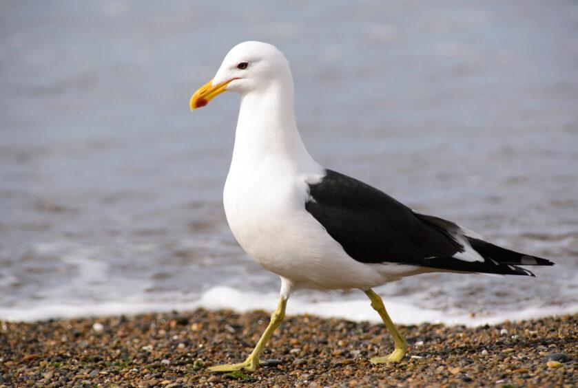 A gull patrols the shore