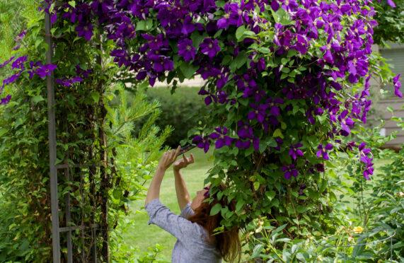 Clematis in beautiful, abundant bloom