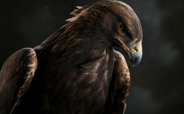 Staring intently from a high perch, a golden eagle scans the ground below for prey