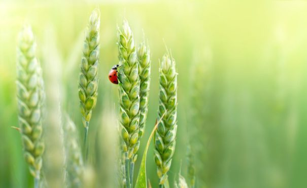Ladybirds are used by organic farmers to predate on pests