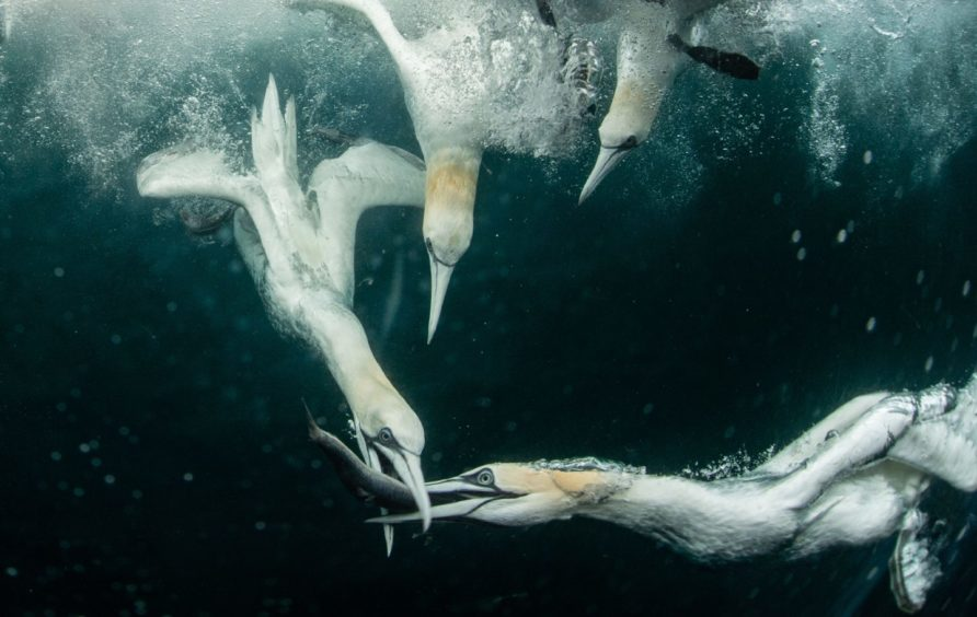 The gannet's powerful diving skills