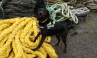 Sniffer dog Zoe at work in Orkney