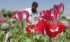 Afghan poppies and buds full of raw opium, used to produce heroin