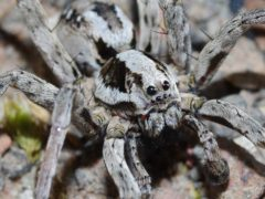 Great fox-spider (Mike Waite)