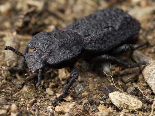 Scientists have discovered the design secrets of a nearly indestructible beetle (David Kisailus / UCI)