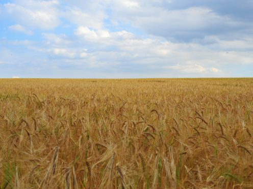 New research will have implications for global wheat production – experts (Nick Ansell/PA)