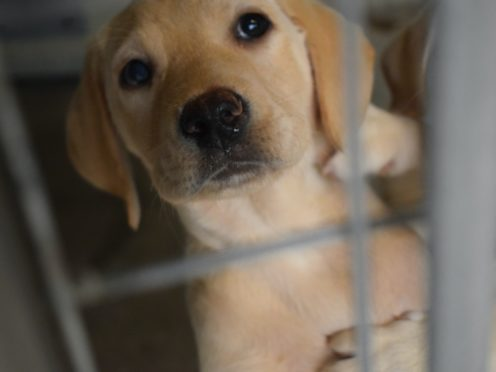 Many illegally bred puppies are sold online through social media or small ad sites, according to the animal welfare charity (Scottish SPCA/PA)