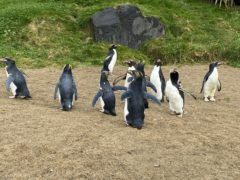 Twelve macaroni penguins that have found a new home at Folly Farm in Pembrokeshire, Wales (Golley Slater/PA)
