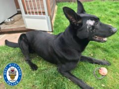 Stark, a German Shepherd and Belgian Malinois cross police dog injured in a machete attack while tracking a burglary suspect (West Midlands Police/PA)