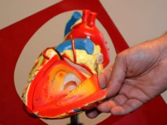 A demonstration model of a heart (Ian Nicholson/PA)