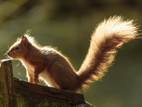 MSPs are being urged to declare a nature emergency in response to the decline of species such as the red squirrel (Danny Lawson/PA)