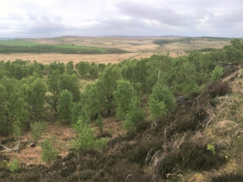 Natural regeneration at Eastern Moors, Derbyshire (Alastair Driver, Rewilding Britain/PA)
