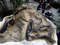 One of two 'duelling dinosaurs' fossils (Seth Weinig/AP)