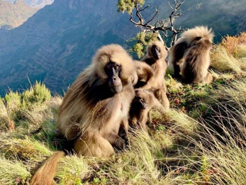 Female geladas hurry up and mature when new male joins the group, a study has said (Jacinta Beehner/University of Michigan)