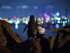 Tobias Baumgaertner's picture of two penguins looking out over St Kilda, Australia, won him the community choice prize at the Ocean Photography Awards (Tobias Baumgaertner/Ocean Photography Awards/PA)
