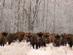 European bison have seen their fortunes improve (Rafal Kowalczyk/IUCN/PA)