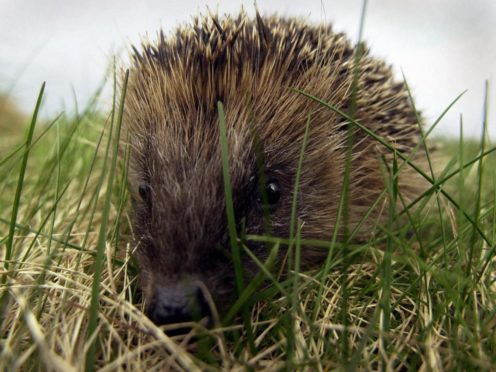 Conservative MPs are calling for greater legal protections for hedgehogs (Andrew Milligan/PA)