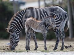 A study suggests that grey camouflage is better than zebra stripes (Aaron Chown/PA)