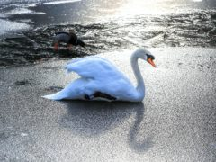 People are being warned not to try and rescue swans which appear stuck in ice (Peter Byrne/PA)