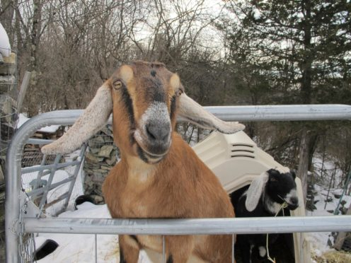 In 2018, Fair Haven residents elected Lincoln the goat as its honorary mayor (Lisa Rathke/AP)