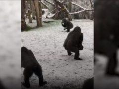 Gorillas enjoying the snow at London Zoo (ZSL/PA)