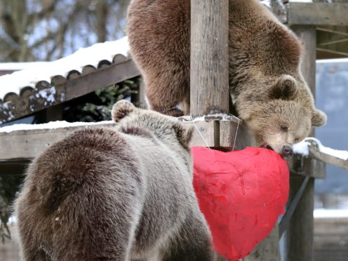 Mish and Lucy, two rescued 22-month-old brown bear cubs, investigate a heart-shaped pinata stuffed with their favourite treats in their enclosure at the wildlife conservation charity Wildwood Trust in Herne Bay, Kent (Gareth Fuller/PA)