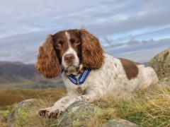 English springer spaniel Max will receive the PSDA Order of Merit (Stuart Holmes/PDSA/PA)