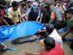 East Java governor Khofifah Indar Parawansa, centre, joins police officers, soldiers and volunteers to rescue a stranded pilot whale stranded on a beach in Bangkalan, on Madura Island (AP)