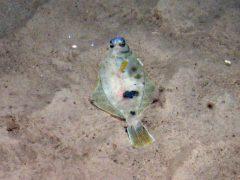 Megrim fish on rippled sand on the Dogger Bank (JNCC/PA)