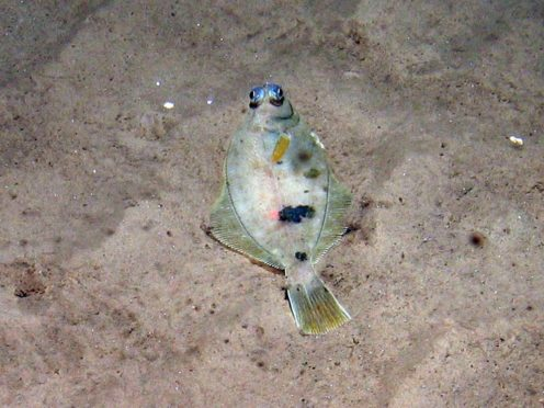 Megrim fish on rippled sand on the Dogger Bank (JNCC/PA)