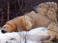 Polar bears Arktos and Victoria at the Royal Zoological Society of Scotland's Highland Wildlife Park (RZSS /PA)