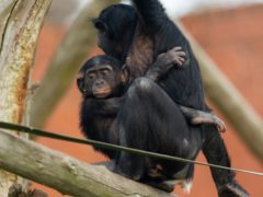 Bonobo apes, including 18-month-old Lola, enjoy treats at Twycross Zoo (Jacob King/PA)