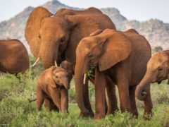 Elephants in the Buffalo Springs National Reserve in northern Kenya (Robbie Labanowski/Save The Elephants/PA)