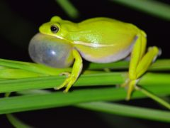 Scientists believe they have tuned into how female frogs find suitors from the same species amid the noise of other frogs (Norman Lee/PA)