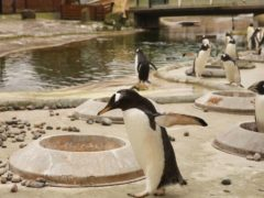 During the annual mating season the zoo places nesting rings in the enclosure (RZSS/PA)