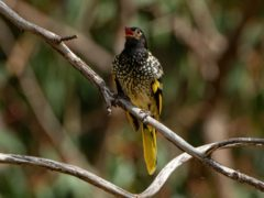 The critically endangered regent honeyeater is at risk of forgetting its own language (Murray Chambers/PA)