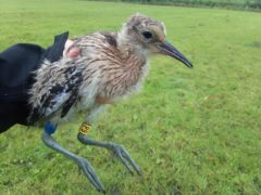 One of the two of two curlew chicks released at Lough Neagh last year which have returned (Lough Neagh Partnership/PA)