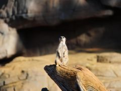 A meerkat at Colchester Zoo (PA)