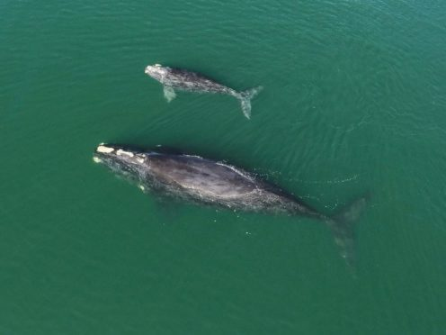A North Atlantic right whale mother and calf in waters near Wassaw Island, Georgia (Georgia Department of Natural Resources/NOAA Permit #20556/AP)