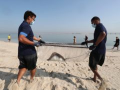 A stingray being transferred to the Persian Gulf waters as part of a conservation project by the Atlantis Hotel at the Jebel Ali Wildlife Sanctuary in Dubai, United Arab Emirates (Kamran Jebreili/AP)