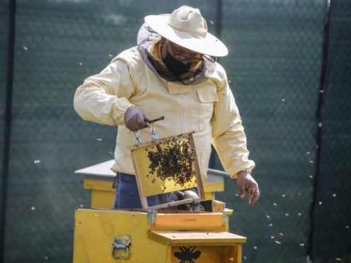 Beekeeper Francesco Capoano moves a frame from a hive at an apiary in Milan, Italy (Luca Bruno/AP)
