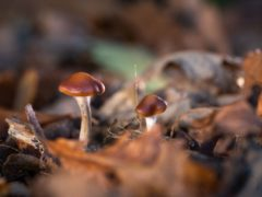 Psilocybin, the psychedelic compound found in magic mushrooms, may be at least as effective as a leading antidepressant drug in a therapeutic setting, a new study suggests (Thomas Angus/Imperial College London/PA)