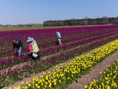 Workers make their way along rows of tulips which have burst into colour in fields near King's Lynn in Norfolk. (Joe Giddens/ PA)