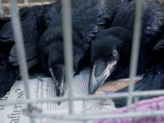 Baby ravens at the tower of London (Historic Royal Palaces)