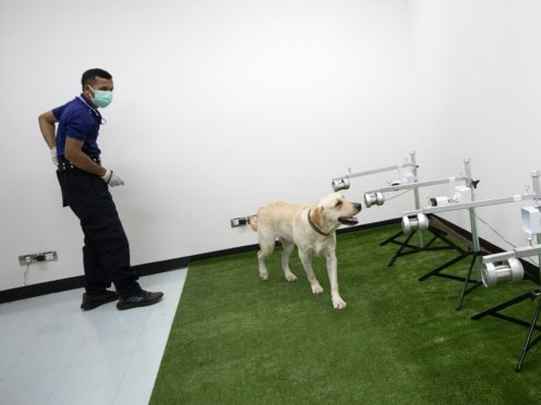 Bobby, one of the specially trained labradors, sniffs some samples hunting for traces of the coronavirus (Sakchai Lalit/AP)