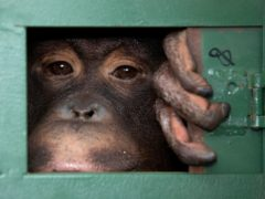Thailand aims to halt the legal sale of wildlife including animals such as the orangutan (AP Photo/Sakchai Lalit, File)