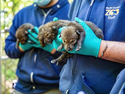 This May 14, 2021, photo provided by the North Carolina Zoo, in Asheboro, N.C., shows several of the American red wolf pups born at the zoo in late April. The American red wolves are critically endangered and number less than two dozen in the wild. (Moriah Angott/North Carolina Zoo via AP)