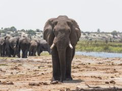 Scent trails could boost elephant conservation, a study suggests (Connie Allen/University of Exeter)